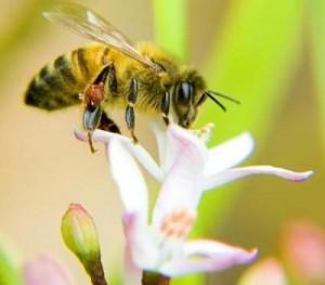 abejas polinizacion