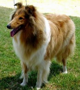 collie comprar